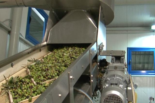 Prodhim i mbarë i ullirit. Kultivuesit kërkojnë treg