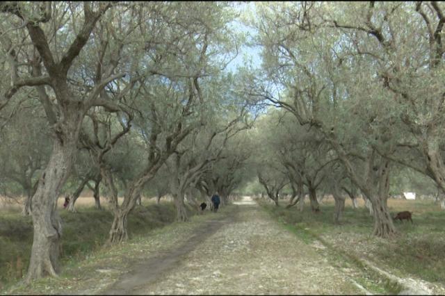 Himarë, fermerët nisin nxjerrjen e vajit të ullirit