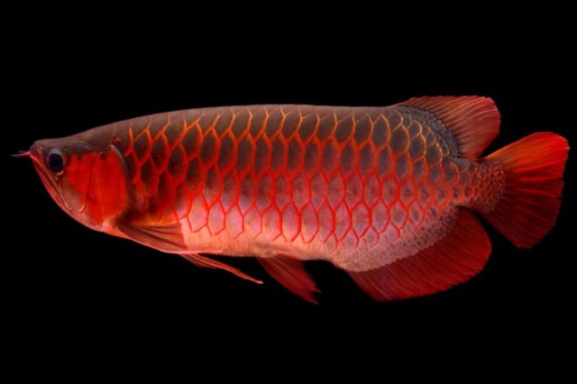 """Peshku aziatik i njohur si """"dragua"""", kush tenton ta vjedhë përfundon  prapa hekurave"""