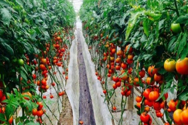 FAO: Shqipëria e para në rajon për prodhimin e perimeve