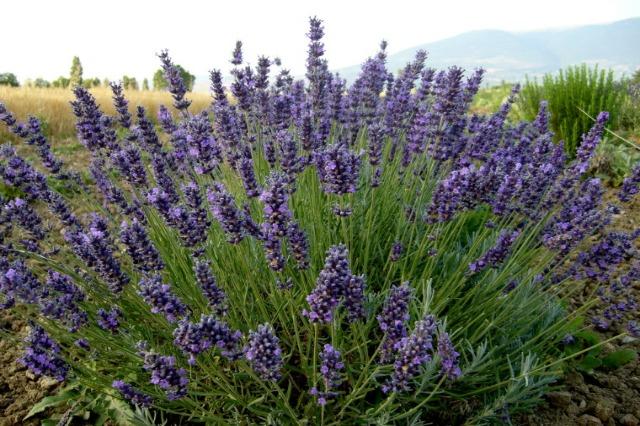 Skema Kombëtare, 1177 fermerë kualifikohen për subvencionim në kultivimin e bimëve mjekësore dhe aromatike