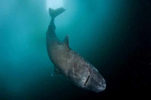 Peshkaqenët orientohen me fushën magnetike të tokës