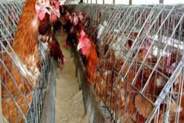BE-ja do të ndalojë me ligj shumimin e kafshëve në kafaz, deri në vitin 2027