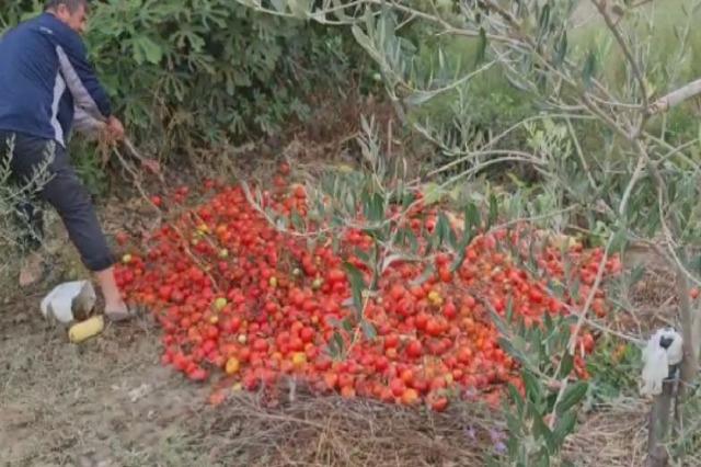 Protesta e fermerëve, probleme me farën e domates
